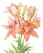 Hemerocallis daylily. Bouquet of speckle flowers. Botanical illustration poster