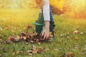 happy child girl playing little gardener in autumn and picking leaves into basket. Seasonal garden work. poster