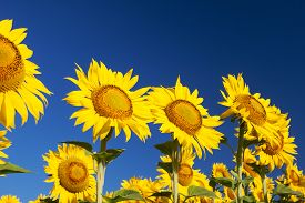 Blossoming sunflowers close-up against the blue sky