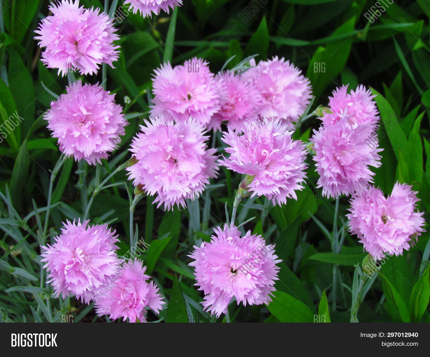 Small Pink Carnations Image Photo Free Trial Bigstock