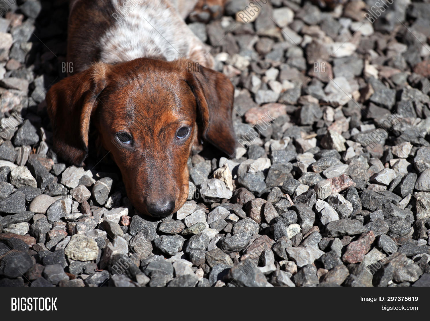 Funny Dachshund Puppy Image Photo Free Trial Bigstock