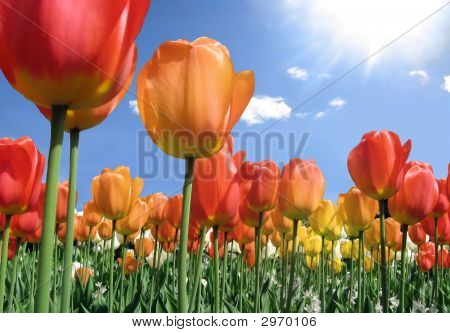 Flame Colored Tulips