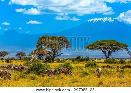 Zebo herd grazing in the savannah at the foot of Kilimanjaro. Safari - tour to the Kenya Amboseli Reserve. Desert acacia in the savanna. The concept of exotic, ecological and phototourism