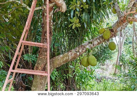 Green Jackfruit On Tree With Blur Rust Staircase As Foreground And Salacca Zalacca Tree As Backgroun