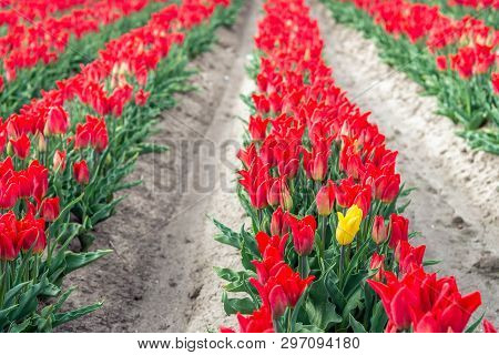 A Yellow Flowering Tulip Stands Out Above The Crowd Of Red Tulips. The Photo Was Taken On The Field