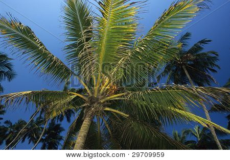 Palm Tree Sri Lanka