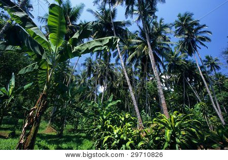 Palm Trees Garden, Sri Lanka