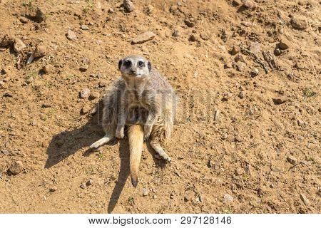 Slender Tailed Meerkat,suricata Suricatta At Woburn Safari Park.