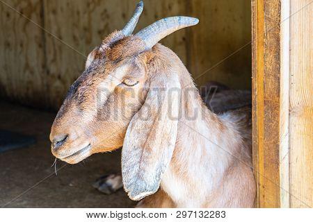 Anglo Nubian Goat, Capra Aegagrus Hircus At Woburn Safari Park