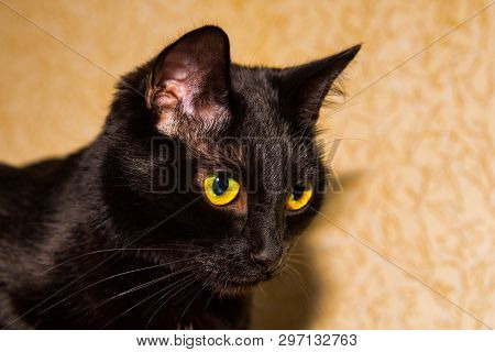 Head of a black cat on a background of bright Wallpaper. Gaze. poster