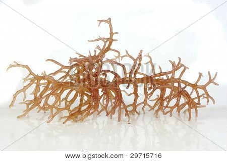 Fresh Bright Brown Seaweed With Reflection