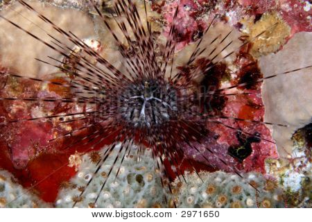 Long-Spined Urchin (Diadema Antilarum)