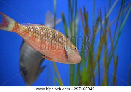 Beautiful Parot-fish Swimming Through The Water Featuring Spotted Pattering