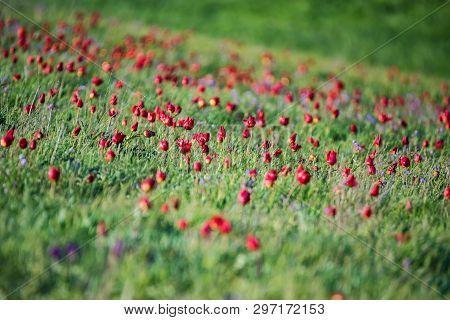 Many Schrencks Tulips Or Tulipa Tulipa Schrenkii In The Steppe
