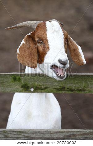 Bleating Goat Portrait