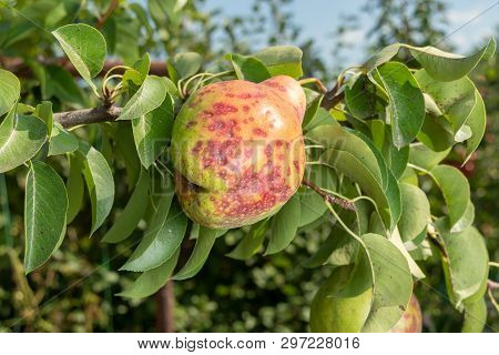 Pear Tree Disease On The Leaves And Bark. The Concept Of Chemical Garden Protection