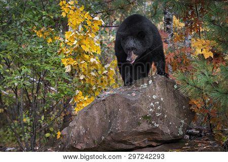 Black Bear (ursus Americanus) Stands Atop Rock Autumn - Captive Animal