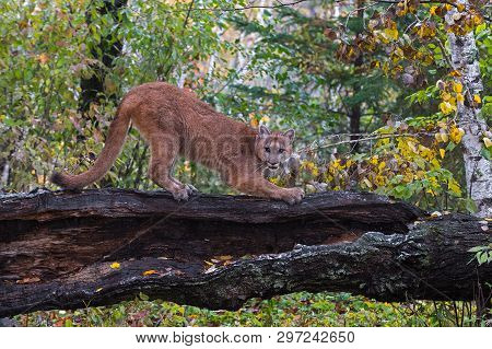 Cougar (puma Concolor) Claws At Log In Lightly Falling Snow Autumn - Captive Animal