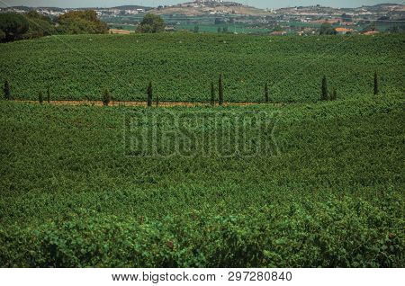 Landscape Of Many Green Vines And Dirt Road In A Vineyard Near Estremoz. A Nice Little Historic Town