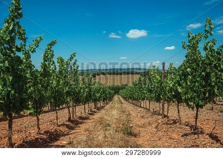 View Of Many Vines Stretches As Far As The Eye Could See Going Down The Hill, In A Vineyard Near Est