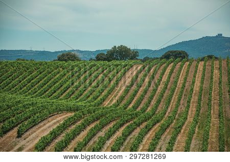 Landscape Of Many Vines Stretches As Far As The Eye Could See On Top Of The Hill, In A Vineyard Near
