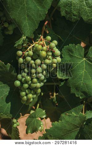 Close-up Of Unripe Grape Cluster Still Hanging On Twig Of Verdant Vine, In A Vineyard Near Estremoz.