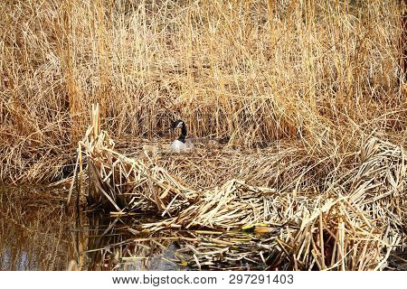 A Goose Nesting In The Tall Grass And Cattails Near The  Edge Of A Pond.