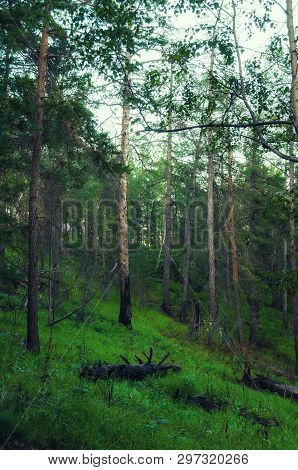 Forest landscape with trees growing at the mountain slopes. Mysterious forest nature. Forest trees in cloudy weather, forest landscape
