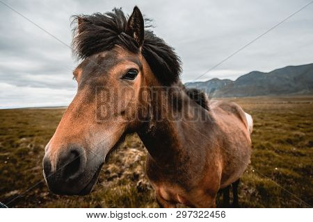 poster of Icelandic horse in the field of scenic nature landscape of Iceland. The Icelandic horse is a breed of horse locally developed in Iceland as Icelandic law prevents horses from being imported.