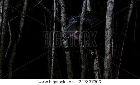 Night portrait of Daubentonia madagascariensis aka Aye-Aye lemur, Atsinanana region in Madagascar poster