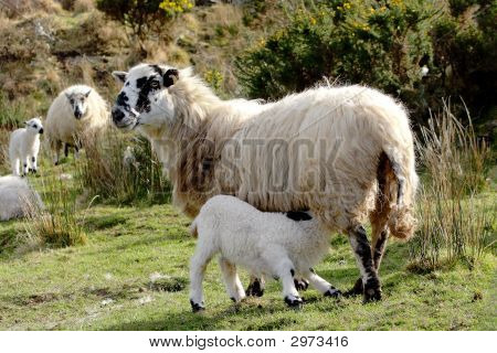 Lamb feeding with another lamb and it's mother in the background poster