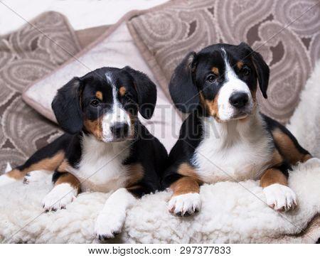 Tvo Entlebucher Mountain Dog puppies
