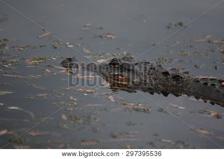 Alligator Skimming The Surface Of The Water's Surface