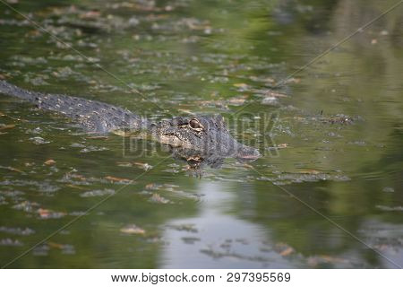 Alligator Reflecting In The Water's Surface In The Bayou