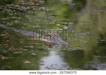 Alligator In The Waters Of The Southern Louisiana Bayou.