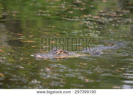 Alligator Moving Through The Swamp Waters Of The Bayou.