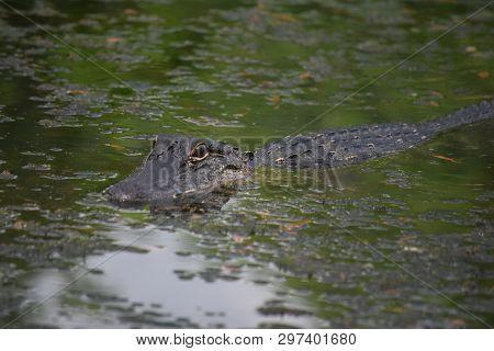 Alligator In A Shallow Bayou In Southern Louisiana.