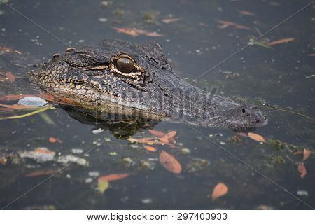 Great Look Of An Alligator Up Close In Southern Louisiana.
