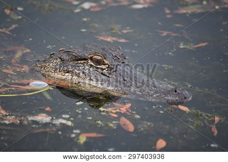 Looking Directly In The Face Of An Alligator In The Bayou.