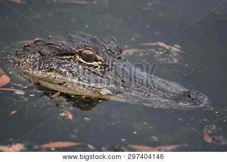 Looking Into The Face Of An Alligator In Louisiana.