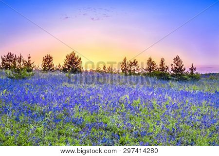 Beautiful Spring Landscape With  Flowering Blue Flowers In Meadow And Sunrise. Wildflowers Blooming