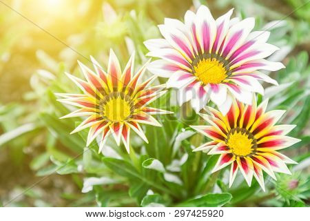 Flower In Garden At Sunny Summer Or Spring Day. Flower For Postcard Beauty. Flower For Decoration An