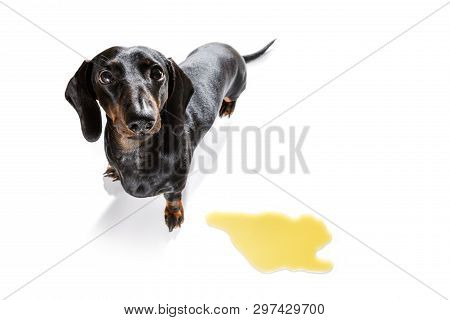 Dachshund  Sausage Dog Being Punished For Urinate Or Pee  At Home By His Owner, Isolated On White Ba