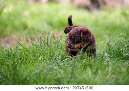 A Small, Cute Little Dog Playing On The Grass