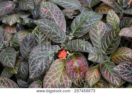 View Of Episcia Reptans A Genus Of Tropical Flowering Plant. Macro Photography Of Nature.