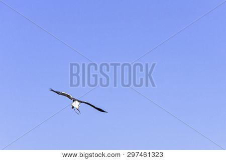 Flying Stellers Sea Eagle (haliaeetus Pelagicus) - United Kingdom