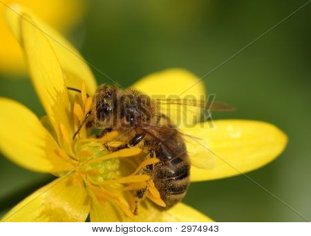 Little Bee On The Yellow Flower