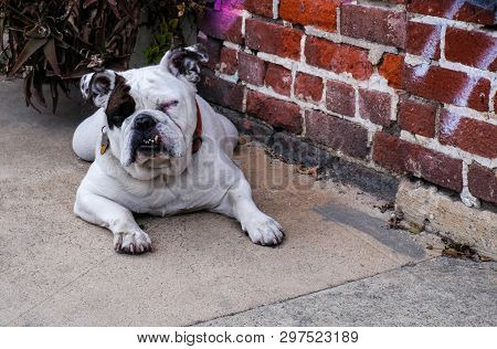 Spotted Bulldog Lazily Raising Its Head And Closed Eyes.