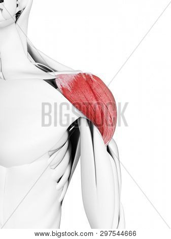 3d rendered medically accurate illustration of the deltoid