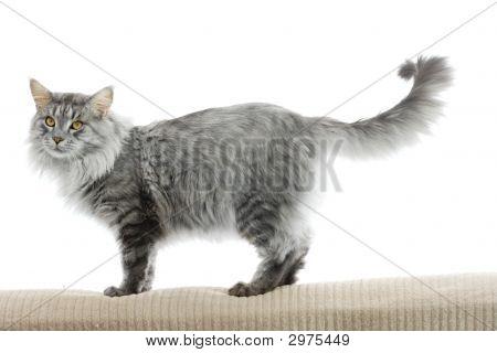 孤立的缅因库恩猫